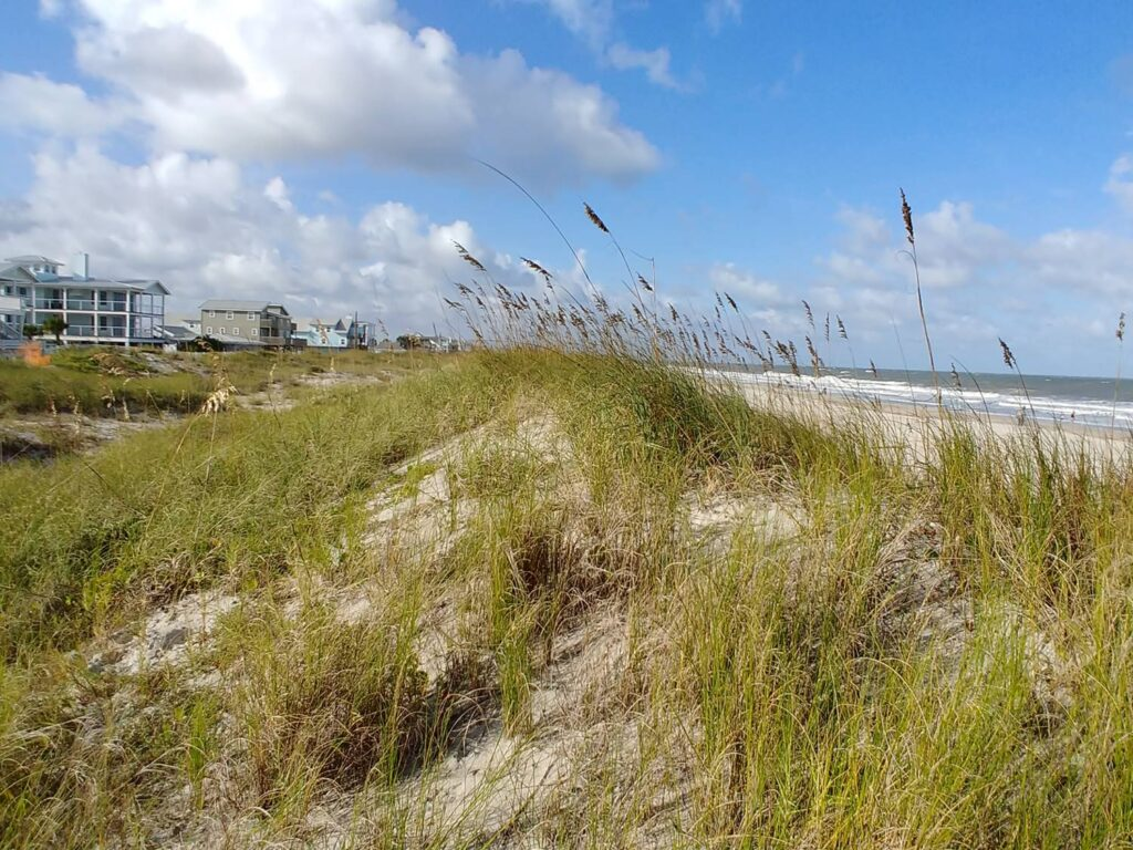 Sea oates are part of a healthy and natural dune restoration