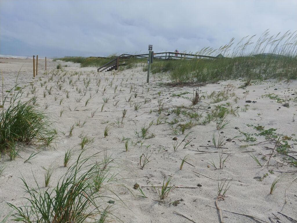 Native plants installed as part of an Amelia Island dune restoration